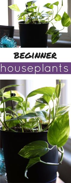 The best beginner houseplant is the devil's ivy!