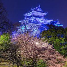 当日行ってみるまで知りませんでしたがこの日は世界自閉症啓発デーということで和歌山城がブルーにライトアップされてました  やはり今日の暴風雨で和歌山の桜はかなり散ってしまいましたね  #和歌山県 #和歌山市 #和歌山城 #ライトアップ #桜 #夜桜 #さくら #sakura #wakayamagram #夜景 #長時間露光 #longexposure_japan #nightview #japan_night_view夜桜2016 #yakei_luv #wu_japan #icu_japan #lovers_nippon #loves_night #night_shooterz #loves_nippon #jp_gallery #icu_nightlife #team_jp #tv_illuminate by matz.2014