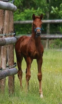 Dream Queen II, stunning, red Oldenberg filly.