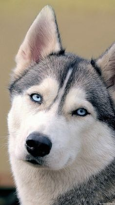 Wonderful All About The Siberian Husky Ideas. Prodigious All About The Siberian Husky Ideas. Le Husky, Siberian Husky Dog, Husky Puppy, Alaskan Husky, Husky With Blue Eyes, Puppies With Blue Eyes, Pet Dogs, Dogs And Puppies, Pets