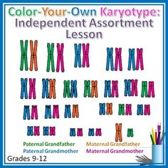 Color Your Own Karyotype: Independent Assortment of Chromo