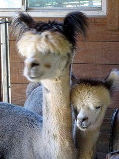 funny alpacas!