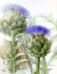 Gorgeous illustration of an artichoke, perfect for a kitchen or dining room, preferably with some yellow so the complementary purple will sparkle. Cynara cardunculus Globe artichoke by Elaine Searle on Amicus Botanicus Illustration Botanique, Illustration Blume, Botanical Illustration, Botanical Drawings, Botanical Prints, Watercolor Flowers, Watercolor Paintings, Watercolors, Artichoke Flower