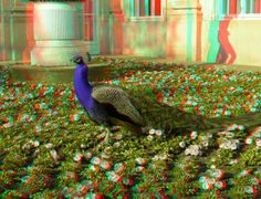 The Peacock 3D Anaglyph by yellowishhaze on DeviantArt