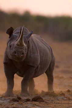Proud Rhino || lekrom. 100s of Wildlife Treasures. http://www.pinterest.com/njestates1/wildlife-treasures/ Thanks To http://www.njestates.net/real-estate/nj/listings