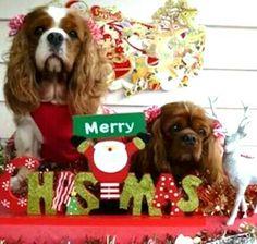 Merry Christmas Cavaliers