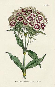 Sweet William, Dianthus barbatus (plate 207), from the William Curtis Botanical Magazine, 1793