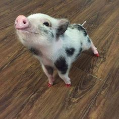 We Bought A Pet Pig For Our Anxious Daughter. Pets are humanizing. They remind us we have an obligation and responsibility to preserve and nurture and care for all life. Cute Little Animals, Little Pigs, Cute Funny Animals, Baby Animals Pictures, Cute Animal Pictures, Animals And Pets, Farm Animals, Cute Baby Pigs, Cute Piglets