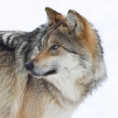 Idaho Wolf Derby Back On -- Rally Now to Stop It PETITION - Care2 News Network