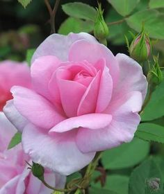 Religious Magic And Spiritual Ability Element One Tips On Growing Roses Beautiful Rose Flowers, Love Rose, Unique Flowers, My Flower, Flower Art, Beautiful Flowers, Lavender Roses, Pink Roses, Pink Flowers