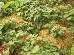 How to grow potatoes in straw, might try this!