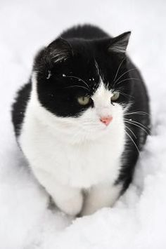 Snow cat   Lokks like our old Mufasa Kitty ...