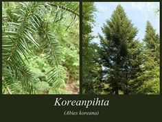 Koreanpihta - puulajipuisto