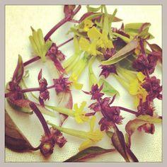Herb Flowers from My Garden #mexicantarragon #thaibasil #green #2013gardenreport #natureEveryday #aromatic #herbgarden #urbangarden #raw #delish