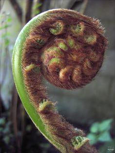 Dicksonia Tree fern