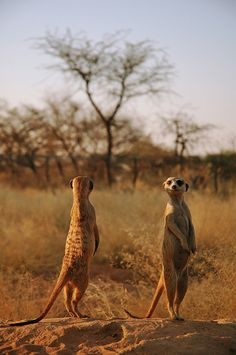 Meercats scouting, Namibia by Liv Unni Sødem
