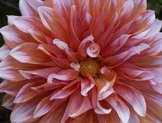 Dahlia gardens-and-flowers