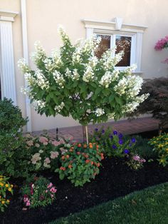 Limelight Hydrangea Tree Form – front yard ideas with porch Landscaping Shrubs, Small Front Yard Landscaping, Front Yard Design, Landscaping With Rocks, Outdoor Landscaping, Hydrangea Landscaping, Small Front Yards, Country Landscaping, Landscaping Software