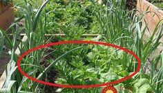 Schéma pre maximálny výnos: Keď vysadíte plodiny takto, ušetríte priestor, čas aj peniaze za postreky proti škodcom! Edible Garden, Garden Hose, Gardening Tips, Diy And Crafts, How To Make Money, Home And Garden, Plants, Outdoor, Kids And Parenting
