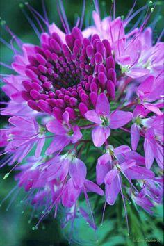 Purple Cloeme - one of my mom's favorite flowers.