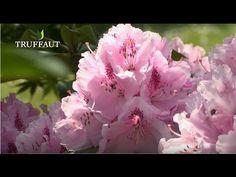 Comment réaliser la taille d'entretien du rhododendron ? - Jardinerie Tr...