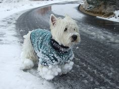 This looks just like Cooper when he's been out in the snow! Won't be much longer until we see this again.