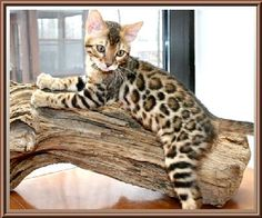 Another Bengal!
