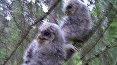 Pöllöt näkevät korvillaan | Luonto | yle.fi