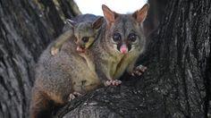 australian animal illustrations - Google Search Reptiles, Mammals, Opossum, Australian Animals, Wild Ones, Woodland Animals, Beautiful Birds, Animal Kingdom, Pet Birds
