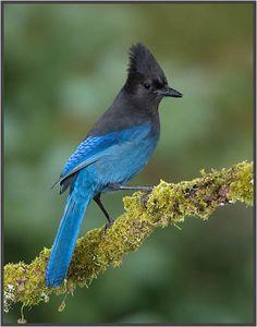 Stellar Jay (aka Mountain Jay or Pine Jay). Pretty Birds, Beautiful Birds, Animals Beautiful, Small Birds, Colorful Birds, Exotic Birds, Blue Jay Bird, Lake Arrowhead, Bird Species