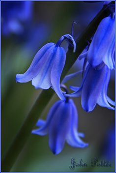 ~~Spanish Bluebell, Hyacinthoides hispanica by JoPoBePo~~