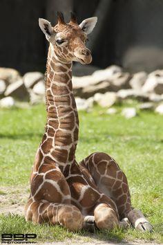 beautiful Giraffe kid
