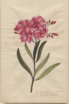Nerium oleander- between about 1765 and 1775.