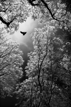 As this bird takes flight so do are hopes and dreams with it. Descending towards the heavens bringing messages back and forth. Threw the trees so icy cool the scene captivates ones mind and you escape to another world.