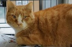 Toemanagi is an 8yr. old male DSH who is available at Sean Casey Animal Rescue, Brooklyn,NY.