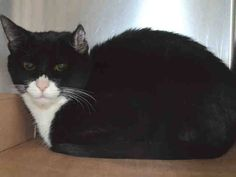 NYC TO BE DESTROYED Friday 04/24/15 **Beautiful Young TINA was surrendered along with her house mate Mimi due to limited space in her home. Tina could be seen in the kennel with neutral body language when approached. Attempted to touch Tina, & she growled, hissed, & swatted. ID #A1033675. Female black & white about 2 YEARS.OWNER SUR. Group/Litter #K15-010616. https://www.facebook.com/nycurgentcats/photos/a.994636727220981.1073742664.220724831278845/994636987220955/?type=3&theater