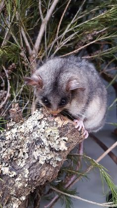 William the Mountain Pygmy-possum loves posing for the camera. William lives in Cool Conservation and can often be seen out and about in his exhibit- he has worked out that when he's awake during the day he gets a treat!