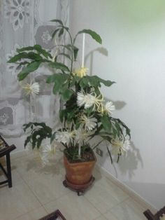 Flor da pitaia