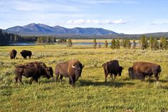 Photo credit: Yellowstone National Park   The National Park Service is scheduled to capture and facilitate the killing of up to 900 bison inside Yellowstone Park starting on Feb. 15. During