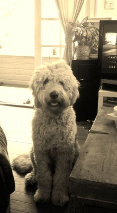 Goldendoodle- I need obe. staring at my neighbors is just bot going to cut it anymore Goldendoodle Haircuts, Mini Goldendoodle, Goldendoodles, Labradoodles, Cockapoo, Doggies, Dogs And Puppies, Love Doodles, Cute Dog Photos