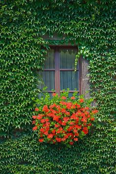 Window detail along the Rhine River, Germany. I just love ivy and window boxes Window Box Flowers, Window Boxes, Flower Boxes, Cottage Windows, Garden Windows, Window Detail, Window View, Pot Plante, Through The Window