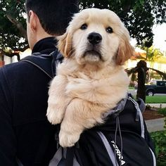 Photo credit: All enquiries by email in bio please. Photo credit: All enquiries by email in bio please . Retriever Puppy, Dogs Golden Retriever, Golden Retrievers, Beautiful Dogs, Animals Beautiful, Cute Animals, Cute Puppies, Cute Dogs, Dogs And Puppies