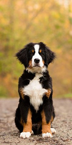Bernese Mountain Dog Puppy by Nicole Begley Photography - Welcome to Puppy Week! | Pretty Fluffy