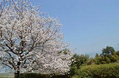 百年公園の桜