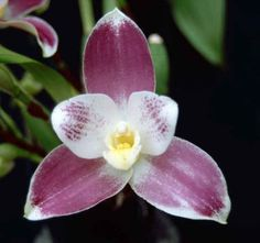 Orchid: Anglocaste Rosings 'Jay-Gee' - OSCOV: Ochid Societies Council of Victoria Inc., Australia