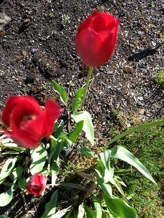 Tulipa gesneriana - Liljefamilien  (sørvest Europa, sørl. Sentralasia).