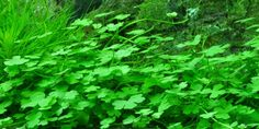 Hydrocotyle tripartita - Tropica Aquarium Plants