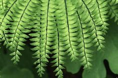 How to grow maidenhair ferns, including tips on watering and warmth to keep them healthy and active.