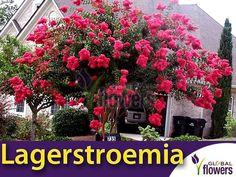 Lagerstroemia Purpurea (Lagerstroemia indica)