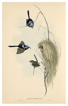 020-reyezuelo azul-The Birds of Australia  1848-John Gould- National Library of Australia Digital Collections